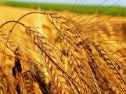 Организация закупает зерно фуражное.
