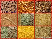 зерно фуражное (тритикале,  ячмень,  пшеница,  рожь. кукуруза)